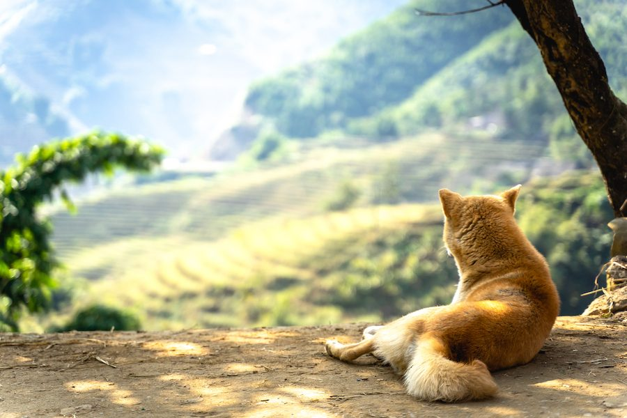 Relaxing dog with a view in Sapa