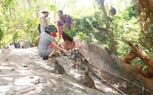 Wild monkeys in Son Tra are spoiled by visitors who love to feed them